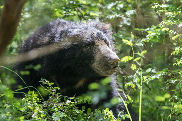 A Sri Lankan sloth bear in the forest Sri Lankan sloth bear,sloth bear,bear,bears,Melursus ursinus inornatus,face,forest,fur,Asia,Sri Lanka,green,vegetation,leaves,Sloth bear,Melursus ursinus,Chordates,Chordata,Mammalia,Mammals,Carnivores
