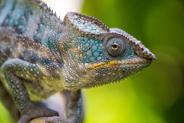 Close up of a panther chameleon chameleon,pattern,crypsis,skin,pigment,pigmentation,colourful,scales,scaly,close up,macro,eye,eyes,face,leaves,arboreal,reptile,reptiles,shallow focus,tropical,colour,negative space,turquoise,teal,gre