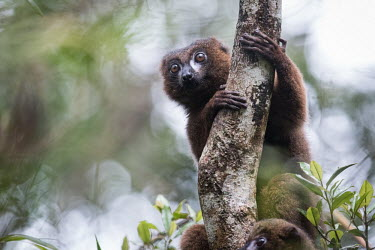 An alert red-bellied lemur clinging to a tree trunk lemur,lemurs,primate,primates,Africa,Madagascar,tropical,tree,rainforest,eyes,arboreal,shallow focus,climb,climbing,forest,face,alert,Red-bellied lemur,Eulemur rubriventer,Primates,Mammalia,Mammals,Le