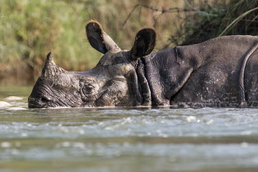 Indian rhinoceros half submerged in the water rhinos,rhino,horn,horns,herbivores,herbivore,vertebrate,mammal,mammals,terrestrial,India,Indian,streams and rivers,river,ears,bath,swimming,swim,Indian rhinoceros,Rhinoceros unicornis,Rhinocerous,Rhin