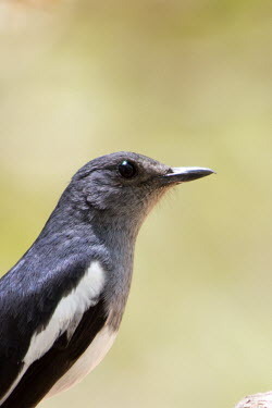 A female Oriental magpie-robin Animalia,Chordata,Aves,Passeriformes,Muscicapidae,Copsychus saularis,Oriental Magpie-robin,magpie robin,close up,shallow focus,negative space,eye,bill,grey,black and white,Oriental magpie-robin