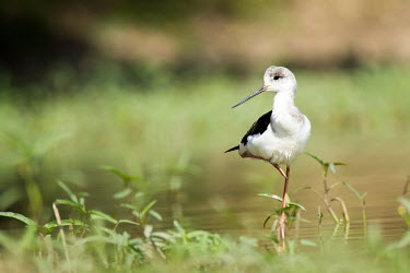 Black-winged stilt standing on one leg in wetland bird,birds,birdlife,avian,aves,bill,plumage,leg,legs,stand,standing,wetland,wader,stilt,shallow focus,negative space,pond,ponds and lakes,Black-winged stilt,Himantopus himantopus,Charadriidae,Lapwings