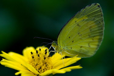 Grass yellow butterfly feeding on a flower Animalia,Arthropoda,Insect,Lepidoptera,Pieridae,Eurema,grass yellow butterfly,grass yellow butterflies,butterfly,butterflies,yellow,proboscis,nectar,flower,yellow flower,flora,fauna,macro,close-up,ins
