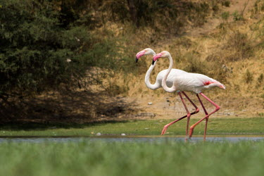 Pair of greater flamingo flamingo,flamingos,pink,legs,neck,bird,birds,birdlife,avian,aves,bill,plumage,waders,wetland,pond,ponds and lakes,walking,colourful,Greater flamingo,Phoenicopterus roseus,Ciconiiformes,Herons Ibises S