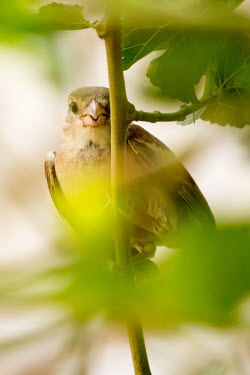 House sparrow spotted in foliage bird,birds,birdlife,avian,aves,bill,plumage,perching,perch,shallow focus,close up,foliage,House sparrow,Passer domesticus,Ploceidae,Weavers,Aves,Birds,Old World Sparrows,Passeridae,Perching Birds,Pass