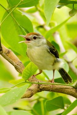 Common tailorbird calling Animalia,Chordata,Aves,Passeriformes,Cisticolidae,Orthotomus sutorius,Common tailorbird,bird,birds,birdlife,chirp,chirping,foliage,singing,call,calling
