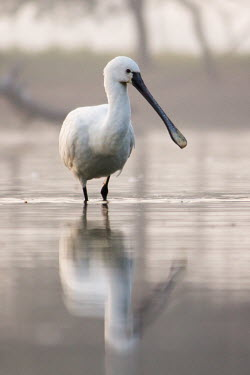 Portrait of a Eurasian spoonbill hunting in the water spoonbill,white,wading,reflection,grey,bird,birds,birdlife,avian,aves,bill,plumage,waders,wetland,lake,ponds and lakes,Pelecaniformes,Eurasian spoonbill,Platalea leucorodia,Chordates,Chordata,Ciconiif