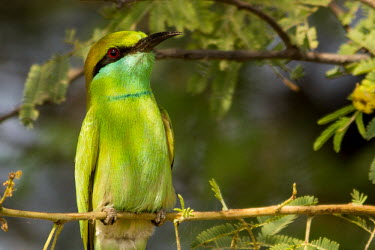 Portrait of a little green bee-eater perching on a branch mask,masked,bandit,green,bee eater,bee-eater,red eye,close up,bird,birds,birdlife,avian,aves,bill,plumage,perching,perch,Little green bee-eater,Merops orientalis,Aves,Birds,Bee-eaters,Meropidae,Coraci