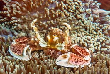 Porcelain crab feeding using fan appendages to gather micro-organsims porcelain crab,anemone crab,Animalia,Arthropoda,Crustacea,Malacostraca,Decapoda,Anomura,Porcellanidae,Neopetrolisthes,Neopetrolisthes maculatus,marine,marine life,sea,sea life,ocean,oceans,water,under