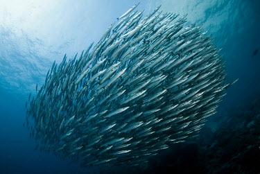 Mexican barracuda shoal together barracuda,Mexican barracuda,Animalia,Chordata,Actinopterygii,Perciformes,Sphyraenidae,Sphyraena ensis,predator,marine,marine life,sea,sea life,ocean,oceans,water,underwater,aquatic,ball,shoal,group,re