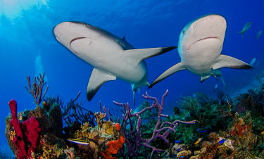 Two Caribbean reef shark�swim over a colourful coral reef shark,sharks,sharks and rays,elasmobranch,elasmobranchs,elasmobranchii,predator,marine,marine life,sea,sea life,ocean,oceans,water,underwater,aquatic,swimming,reef,reef life,coral reef,fish,Caribbean