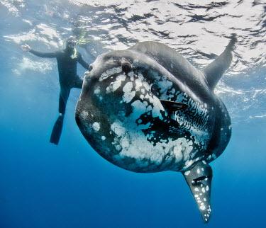 Sunfish passing a snorkelling tourist fish,marine,marine life,sea,sea life,ocean,oceans,water,underwater,aquatic,massive,big,sun fish,tourism,ecotourism,snorkel,Sunfish,Mola mola,Chordates,Chordata,Actinopterygii,Ray-finned Fishes,Common,