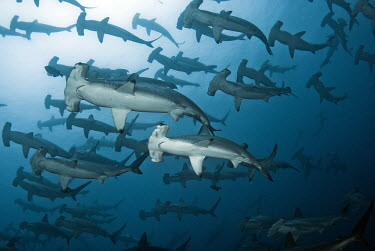A school of scalloped hammerhead shark,sharks,sharks and rays,elasmobranch,elasmobranchs,elasmobranchii,predator,marine,marine life,sea,sea life,ocean,oceans,water,underwater,aquatic,swimming,hammerhead,hammer head,school,gam,herd,fr
