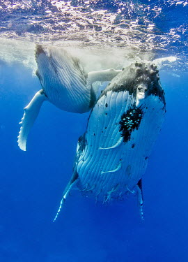 Humpback whale covered in remora whale,whales,humpback whale,humpback,whales and dolphins,cetacean,cetaceans,marine mammal,marine mammals,aquatic mammals,aquatic mammal,mother and calf,calf,baby,young,juvenile,parent,surface,marine,m