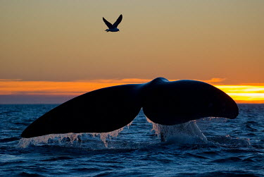 The tail fluke of a southern right whale breaking at sunset, gull flying overhead whale,whales,southern whale,whales and dolphins,cetacean,cetaceans,fins,marine mammal,marine mammals,aquatic mammals,aquatic mammal,fluke,tail fluke,fin,tail fin,silhoutte,sunset,dusk,horizon,landscap
