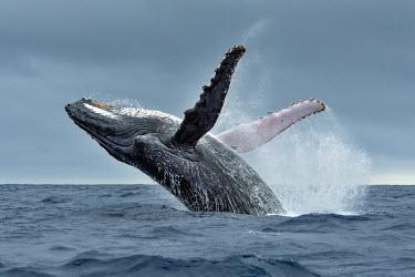 A humpback whale breaching breach,breaching,surface,behaviour,leap,jump,leaping,jumping,whale,whales,humpback whale,humpback,whales and dolphins,cetacean,cetaceans,marine mammal,marine mammals,aquatic mammals,aquatic mammal,mar