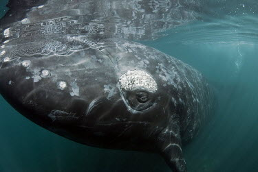 Close up of a southern right whale whale,whales,southern whale,whales and dolphins,cetacean,cetaceans,marine mammal,marine mammals,aquatic mammals,aquatic mammal,eye,eyes,close up,big,marine,marine life,sea,sea life,ocean,oceans,water,