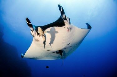 Giant manta ray swims overhead manta,manta ray,ray,rays,sharks and rays,elasmobranch,elasmobranchs,elasmobranchii,wings,marine,marine life,sea,sea life,ocean,oceans,water,underwater,aquatic,gills,gill,filter feeder,belly,female,rem