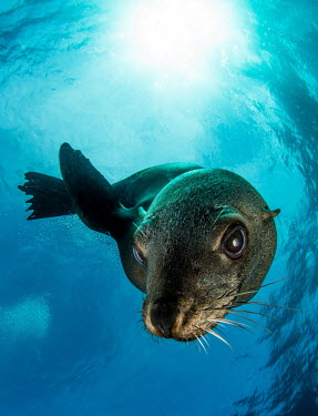 Brown fur seal looks inquistively at the camera seal,fur seal,Afro-Australian fur seal,Cape fur seal,South African fur seal,marine,marine life,sea,sea life,ocean,oceans,water,underwater,aquatic,marine mammal,marine mammals,aquatic mammals,aquatic m
