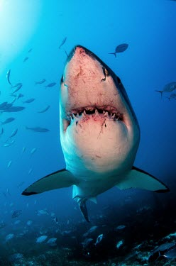 Close up of a great white shark bearing its scars great white,white shark,white pointer,shark,sharks,sharks and rays,elasmobranch,elasmobranchs,elasmobranchii,predator,teeth,snout,mouth,Ampullae of Lorenzini,electroreceptors,marine,marine life,sea,se
