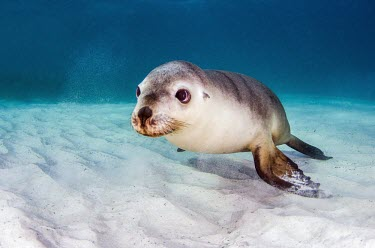 Australian sea lion on the sea floor sea lion,marine mammal,marine mammals,aquatic mammals,aquatic mammal,marine,marine life,sea,sea life,ocean,oceans,water,underwater,aquatic,cute,sea floor,sand,negative space,pinnepeds,Australian sea l