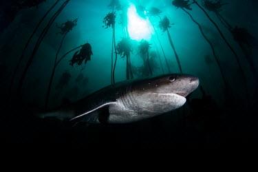 Broadnose sevengill shark patrolling the kelp forest sevengill shark,seven gill,shark,sharks,sharks and rays,elasmobranch,elasmobranchs,elasmobranchii,predator,marine,marine life,sea,sea life,ocean,oceans,water,underwater,aquatic,swimming,kelp,kelp fore