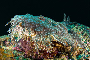 Tasselled wobbegong resting on reef shark,sharks,sharks and rays,carpet shark,tassled,tassles,disguise,camouflage,snout,marine,marine life,sea,sea life,ocean,oceans,water,underwater,aquatic,elasmobranch,elasmobranchs,elasmobranchii,reef