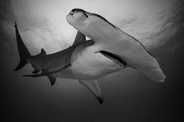 Close up of a great hammerhead in black and white hammerhead,hammerhead shark,shark,sharks,sharks and rays,elasmobranch,elasmobranchs,elasmobranchii,predator,teeth,snout,mouth,marine,marine life,sea,sea life,ocean,oceans,water,underwater,aquatic,fin,
