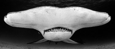 Close up of a great hammerhead in black and white, head on hammerhead,hammerhead shark,shark,sharks,sharks and rays,elasmobranch,elasmobranchs,elasmobranchii,predator,teeth,snout,mouth,marine,marine life,sea,sea life,ocean,oceans,water,underwater,aquatic,fin,