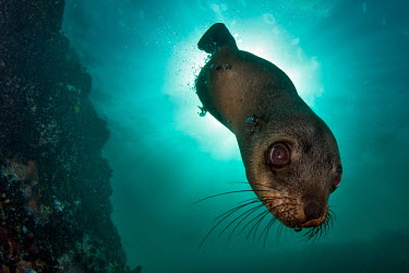 Brown fur seal diving down from the surface seal,fur seal,Afro-Australian fur seal,Cape fur seal,South African fur seal,marine,marine life,sea,sea life,ocean,oceans,water,underwater,aquatic,marine mammal,marine mammals,aquatic mammals,aquatic m
