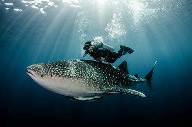 A SCUBA diver swims closely over a whale shark shark,sharks,sharks and rays,elasmobranch,elasmobranchs,elasmobranchii,marine,marine life,sea,sea life,ocean,oceans,water,underwater,aquatic,fish,giant,big,tourism,ecotourism,interaction,humans,people
