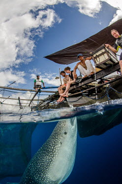 Whale shark visits a fishing boat for spare catch shark,sharks,sharks and rays,elasmobranch,elasmobranchs,elasmobranchii,marine,marine life,sea,sea life,ocean,oceans,water,underwater,aquatic,fish,giant,big,feeding,tourism,ecotourism,interaction,human