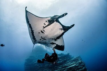 Giant manta ray swims over a SCUBA diver releasing bubbles manta,manta ray,ray,rays,sharks and rays,elasmobranch,elasmobranchs,elasmobranchii,wings,marine,marine life,sea,sea life,ocean,oceans,water,underwater,aquatic,gills,gill,filter feeder,belly,female,SCU