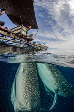 Whale shark visit a fishing boat for spare catch shark,sharks,sharks and rays,elasmobranch,elasmobranchs,elasmobranchii,marine,marine life,sea,sea life,ocean,oceans,water,underwater,aquatic,fish,giant,big,feeding,interaction,humans,people,Whale shar