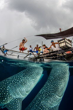 Whale shark visit a fishing boat for spare catch shark,sharks,sharks and rays,elasmobranch,elasmobranchs,elasmobranchii,marine,marine life,sea,sea life,ocean,oceans,water,underwater,aquatic,fish,giant,big,feeding,tourism,ecotourism,interaction,human