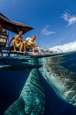 Tourists enjoy whale shark visiting a fishing boat for spare catch shark,sharks,sharks and rays,elasmobranch,elasmobranchs,elasmobranchii,marine,marine life,sea,sea life,ocean,oceans,water,underwater,aquatic,fish,giant,big,feeding,tourism,ecotourism,interaction,human