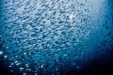 Skipjack tuna shoaling skipjack,tuna,fish,marine,marine life,sea,sea life,ocean,oceans,water,underwater,aquatic,silver,silver fish,shoal,group,school,bait,Scombridae,Perciformes,Actinopterygii,Chordata,Animalia,Skipjack tun