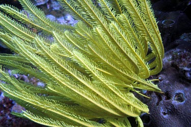 Bennett's feather star on the reef feather star,sea lily,sea lilies,crinoid,echinoderms,echinoderm,invertebrate,invertebrates,marine invertebrate,marine invertebrates,reef life,reef,Animalia,Echinodermata,Crinozoa,Crinoidea,Articulata,