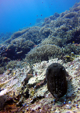 A broadclub cuttlefish on the reef cuttlefish,cephalopod,tentacles,mollusc,molluscs,reef life,invertebrate,invertebrates,marine invertebrate,marine invertebrates,coral,coral reef,sea creature,marine,marine life,Animalia,Mollusca,Cephal
