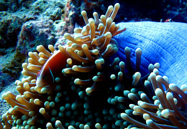 A pink anemonefish stays among the anemone for protection anemonefish,false skunkstriped anemonefish,pink skunk clown,salmon clownfish,whitebanded anemonefish,fish,anemone,actiniaria,sea anemone,symbiosis,symbiotic,relationship,habitat,home,protection,sea li