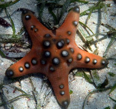 Horned sea star on sea floor horned sea star,chocolate chip sea star,sea star,starfish,echinoderms,echinoderm,invertebrate,invertebrates,marine invertebrate,marine invertebrates,sea creature,sea life,Animalia,Echinodermata,Astero