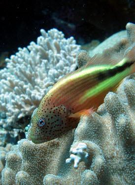 Blacksided hawkfish resting on coral hawkfish,spots,pattern,patterns,reef,reef life,coral reef,fish,sea life,sea,sea creature,ocean,marine,marine life,reef fish,blackside hawkfish,freckled hawkfish,Forster's hawkfish,Animalia,Chordata,Ac