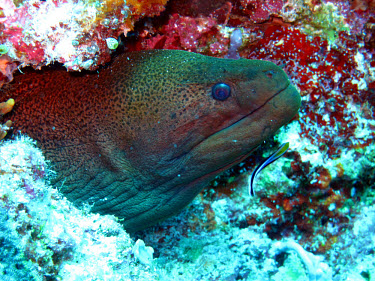 Giant moray partially emerged from cave Animalia,Chordata,Actinopterygii,Anguilliformes,Muraenidae,Gymnothorax,Gymnothorax javanicus,giant moray,moray,moray eel,eel,eels,sea life,sea,sea creature,ocean,marine,marine life,fish,reef fish,reef