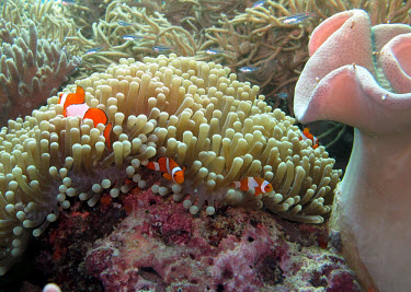 Clown fish living in an anemone clown fish,clownfish,common clown fish,false clown anemonefish,false percula clown fish,false percula clownfish,ocellaris clown fish,ocellaris clownfish,orange clown fish,orange clownfish,anemonefish,