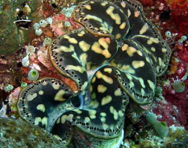 Giant clam open clam,clams,shell,reef,reef life,sea life,sea,sea creature,ocean,marine,marine life,mollusc,molluscs,shellfish,bivalve,filter,filter feeder,pattern,mouth,Giant clam,Tridacna gigas,Bivalvia,Bivalves,Mol