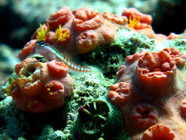 Philippines blenny resting on coral blenny,fish,sea life,sea,sea creature,ocean,marine,marine life,reef,reef life,coral reef,reef fish,Animalia,Chordata,Actinopterygii,Perciformes,Blenniidae,Ecsenius dilemma,Philippines blenny
