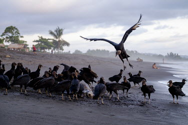 American black vulture picking at the carcass of a olive ridley turtle vulture,black vulture,carcass,carrion,turtle,turtles,beach,coast,coastal,shore,tide,meat,scavenge,skeleton,victim,food,scavenger,carnivore,flock,feeding,bird,birds,birdlife,avian,aves,Americas,Central