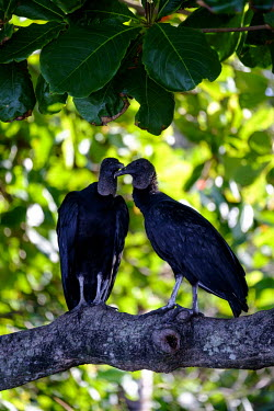 American black vulture perched in a tree vulture,black vulture,tree,perch,perching,perched,pair,scavenger,carnivore,bird,birds,birdlife,avian,aves,Americas,Central America,Costa Rica,rainforest,tropical,tropics,American black vulture,Coragyp