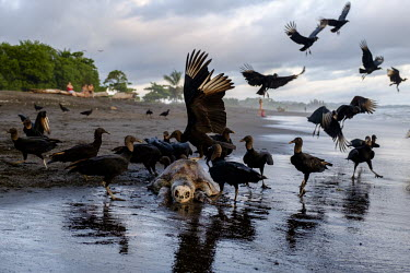 American black vulture picking at the carcass of a olive ridley turtle vulture,black vulture,carcass,carrion,turtle,turtles,beach,coast,coastal,shore,tide,meat,scavenge,skeleton,victim,food,scavenger,carnivore,flock,feeding,bird,birds,birdlife,avian,aves,Americas,Central