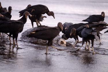 American black vulture picking at the carcass of a olive ridley turtle vulture,black vulture,carcass,carrion,beach,coast,coastal,shore,tide,turtle,turtles,meat,scavenge,skeleton,victim,food,scavenger,carnivore,flock,feeding,bird,birds,birdlife,avian,aves,Americas,Central